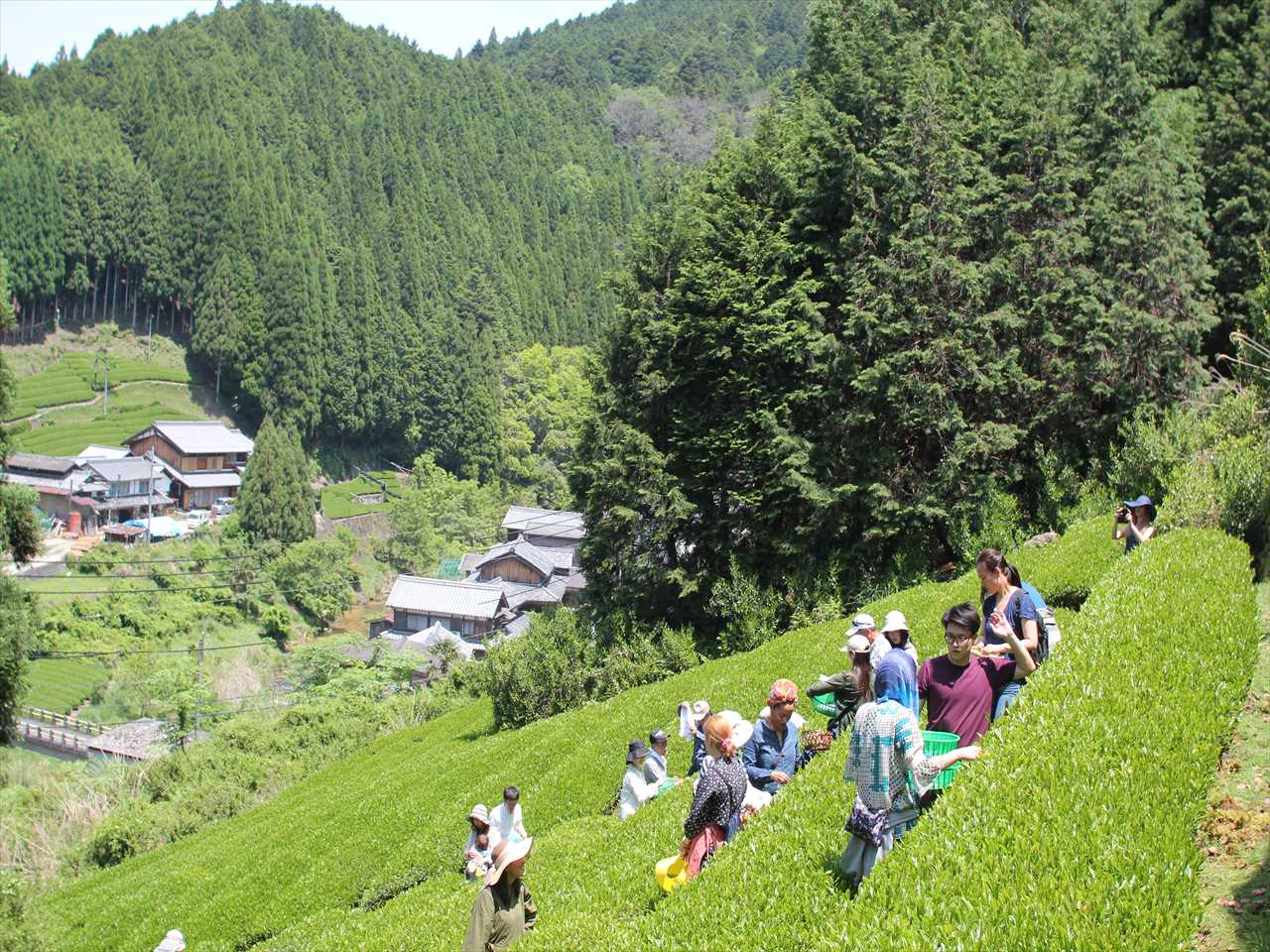 Tea Picking|茶摘み体験