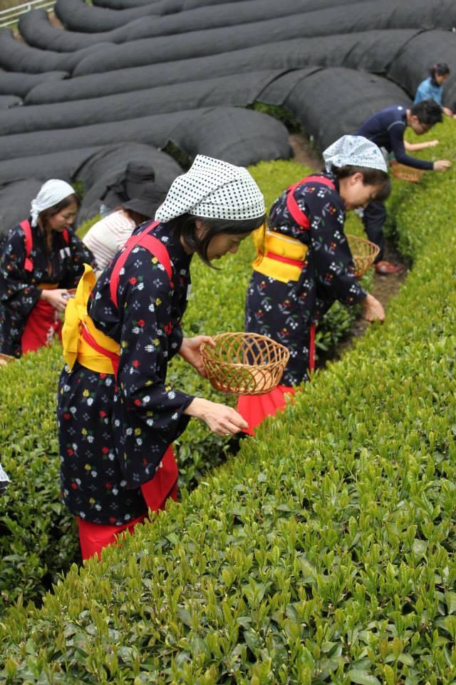 今年も春の茶摘み体験を開催します!【京都 宇治茶 和束町】